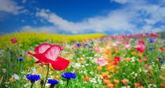 Field of poppy flowers in Furano, Hokkaido, Japan