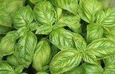 Božská bylinka pro lidi. Přírodní antibiotikum, krevní čistič, antioxidant a výborný pomocník v kuchyni