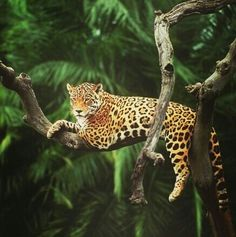 Jaguar in the Amazon Rainforest, Brazil