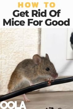 How To Get Rid Of Mice For Good Mouse Deterant, Mouse Hole, Minnie Mouse, Rat House, House Mouse, Mice Control, Pest Control, Diy Mice Repellent, Insect Repellent