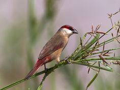 Crimson-rumped Waxbill (Estrilda rhodopyga) photographed by Johnson in Singapore in June 2015. as these are North African birds I assume this is a captive specimen.