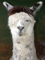 Grants From the Government to Have an Alpaca Farm