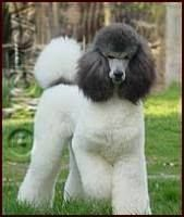 Multi-Colored Poodle Club Of America - beautiful color pattern.