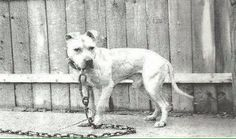 "A rare photo of Ch. ""Little Tab"", an American Pit Bull Terrier."