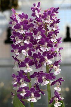Calanthe · 138H8 Позиция Сан-фиолетовый: Цветы и Ю. Прекрасные Idol