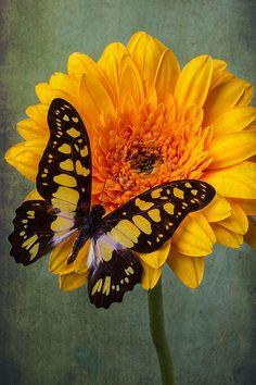 Moody Butterfly