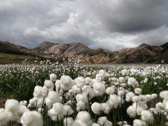 *ARIZONA ~ Cotton fields around Maricopa,