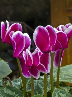 This is God´s art! Tulips Flowers, Wild Flowers, Planting Flowers, Wonderful Flowers, Beautiful Flowers, Garden Photos, Exotic Plants, Fruit Trees, Big And Beautiful