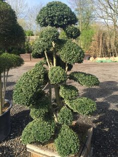 Usually our Japanese Holly, Juniper and Pine resemble cloud shapes while the Box and Privet are more ball or pom-pom-like in appearance. Buxus Sempervirens, Taxus Baccata, Topiary Trees, Topiaries, Rodeo, London Garden, Cloud Shapes, Vegetable Garden Design, Small Leaf