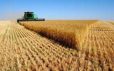 Are #Europeans consuming #GMO wheat? Why is there no uproar about it?