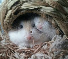 Truffle and Puddin are dwarf hamsters Cute Hamsters, Dwarf Hamsters, Funny Animals, Cute Animals, Little Critter, Little Pets, Nature Animals, Truffles, Creatures