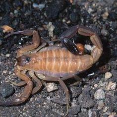 Borax is an effective way to kill scorpions.