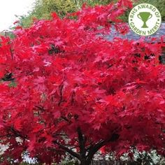Acer palmatum 'Osakazuki' is a Japanese Maple tree with fantastic Autumn colour. Available from www.ornamental-trees.co.uk