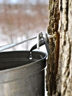 Tapping a Maple tree to make syrup Maple Syrup Taps, Tapping Maple Trees, March Month, February, In Memory Of Dad, Sugaring, O Canada, Country Life, Country Charm