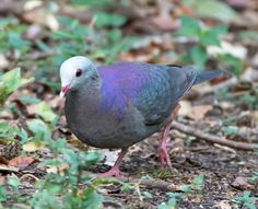 Gray-fronted Quail-Dove(Geotrygon caniceps)