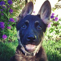 The cutest German Shepherd puppy. Cute German Shepherd Puppies, German Shepherds, I Love Dogs, Cute Dogs, Dog Whining, German Shepherd Training, Awesome Dogs, Gsd Puppies, Schaefer