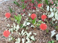 The blood lily show - UF/IFAS Extension Charlotte County