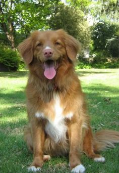 The Nova Scotia Duck Tolling Retriever, or Toller for short, is a medium-sized b. - Puppies for bae - Kleinkind Rare Dogs, Rare Dog Breeds, Cute Dogs Breeds, Red Retriever, Dogs Golden Retriever, Baby Animals, Cute Animals, Sweet Dogs, Super Cute Dogs