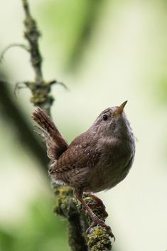 Wren--Wrens are small and inconspicuous birds, except for their loud songs. They have short wings and a thin down-turned bill. There are about 80 species worldwide with one in Britain.
