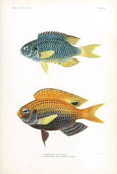 Animal - Fish - Samoa  (3)