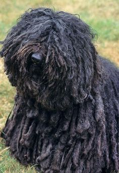 "Puli Dog Breed~This corded wonder is a Hungarian herding breed who looks rather like an old-timey floor mop. He is a small to medium-size dog with a bounce in his step and a quick-thinking mind. A ""sensibly suspicious"" nature makes the Puli an excellent watchdog. His coat requires daily grooming, and it sheds."