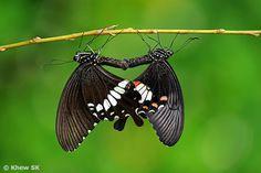 The Common Mormon (Papilio polytes romulus)