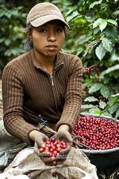 Coffee Harvester (no info) Coffee Wine, Coffee Logo, Coffee Art, My Coffee, Coffee Beans, Guatemalan Recipes, Guatemalan Food, Coffee Origin, Tree Story