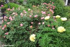 Image Result For Peony Garden Plan