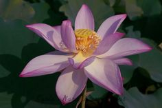 Lotus Flowers in a Small pond in Jōyō City, Kyoto Prefecture. Early morning shots of lotus flowers in Jōyō City, Kyoto Prefecture - Japan. Pink Lotus, Lotus Flowers, Early Morning, Kyoto, Pond, Bloom, Japan, City, Plants