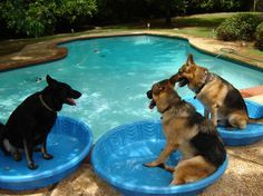 Pool Party for this family of german shepherds enjoying their time together