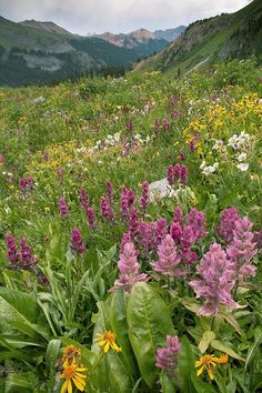 Summer alpine flowers including Rosy Paintbrush (Castilleja rhexifolia) on Black Bear Pass, west of Red Mountain Pass, a dividing point between the Uncompahgre and San Juan National Forests, Colorado | Bob Gibbons, Fine Art America