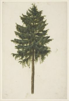 Albrecht Dürer, study of a spruce tree (Picea abies) 1495-1500 Bodycolour and watercolor. British Museum