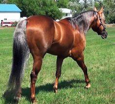 Ain't Seen Nothing Yet, Quarter Horse Stallion