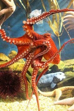 95 best nature octopus octopoda cephalopoda images octopuses
