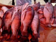 How to Farm Tilapia Fish in your Home Backyard.