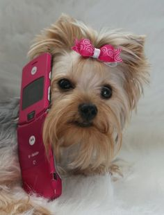 Yorkie call me maybe....