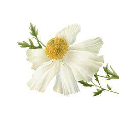 white poppy flower botanical
