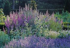 The Candle-like flowers of Purple Loostrife (Lythrum salicaria) rise up over a fragrant carpet of Lavender (Mustead) with the round flower heads of Globe Thistle (Echinops ritro) linking the two.