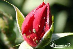 Как избавиться от тли на розах народными средствами?    Тля питается соком роз и при этом выделяет нектар, который способствует появлению черных пятен и грибка. Результатом нападения вредителей является деформация, потеря цвета и липкость листьев.  Борьба с тлей на розах народными средствами включает в себя следующие способы:    - Обработка мыльным раствором на протяжении 15 дней. Это один из самых простых, эффективных и давно применяемых методов. Процедуру проводят каждый день после того…