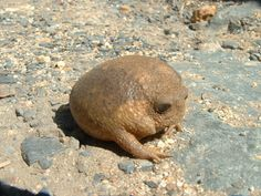 It's a rock with arms, essentially. Which is probably why it looks so glum. The cape rain frog lives in South Africa where it's equally at home in farmland and urban areas.