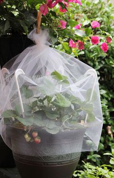 tulle for protecting strawberries from berry stealing critters!