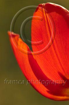 Red tulip  framcaphotography.com