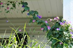 2013 Morning Glories on my Back Porch