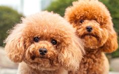 If you own, or are thinking about owning, a poodle, you need to know these poodle dog-care facts. We're also sharing our must-have poodle-inspired gifts. Miniture Poodle, Dog Breeds That Dont Shed, Smartest Dog Breeds, Hypoallergenic Dog Breed, Teddy Bear Dog, French Poodles, Fluffy Dogs, Training Your Dog, Dog Care