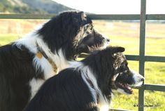Border Collies  by Ken Smullen