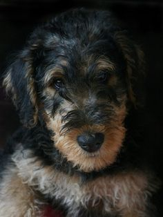 "I do not want... I NEED one of these!!!! airedale ""terror"" just about sums it up, but I HEART THEM ANYWAY"