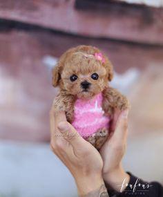 Teacup Poodles For Sale, Teacup Poodle Puppies, Poodle Puppies For Sale, Yorkie Puppy For Sale, Teacup Puppies For Sale, Corgi Puppies, Micro Teacup Poodle, Teacup Dogs, Miniature Puppies