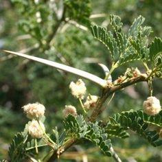 Acacia Grandicornuta                       Horned Thorn                      Horingdoring        10 m       S A no 168,1