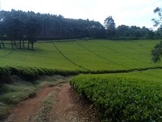 Kenyan tea is my fave...one day I'd like to visit the fields in Limuru, Kenya