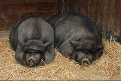javali+porco= JAVAPORCO